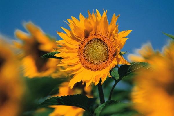 sunfloweur